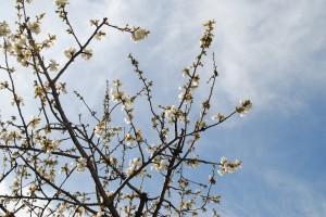 Recordando el Cerezo de Vang Gogh