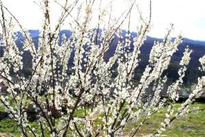 Uno de los pocos cerezos que se animaron ya a florecer este año